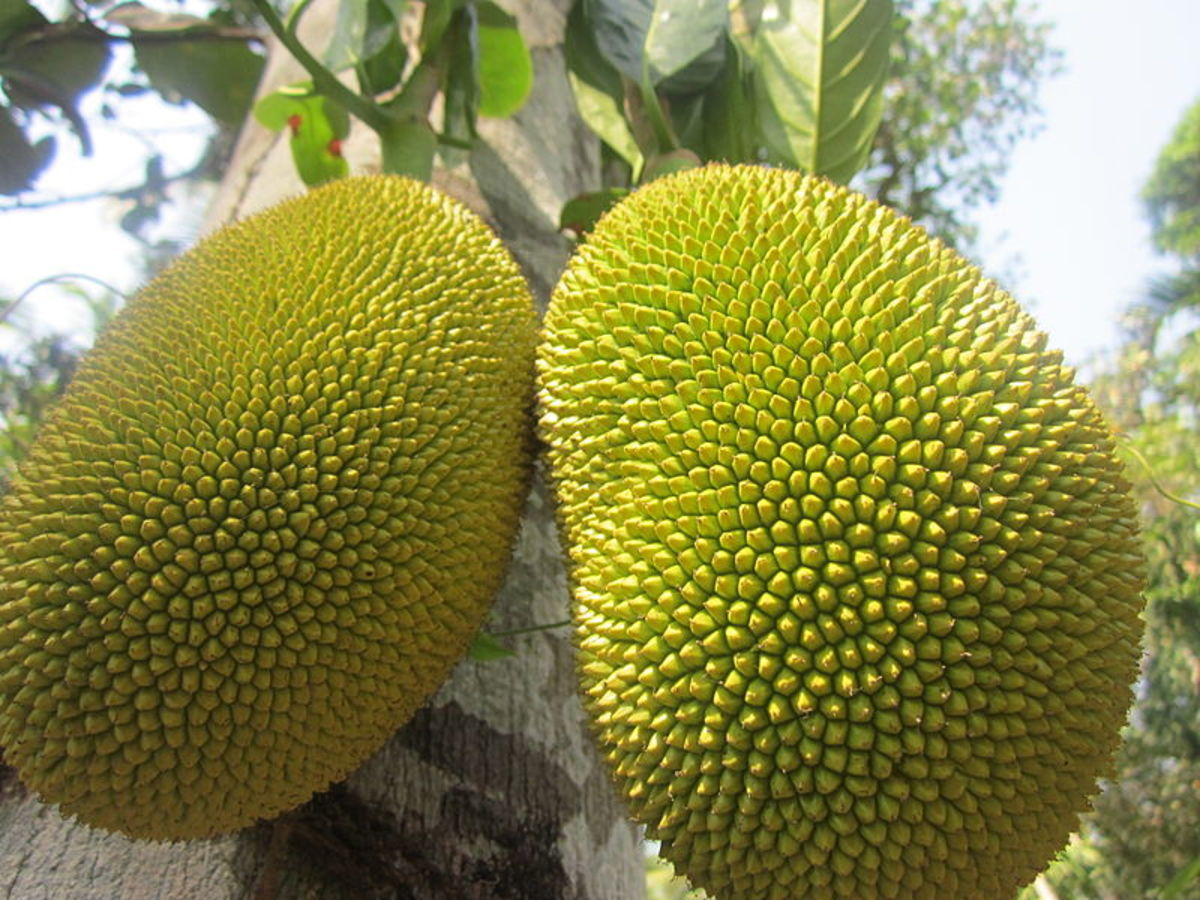 Ripe jackfruit, Kerala