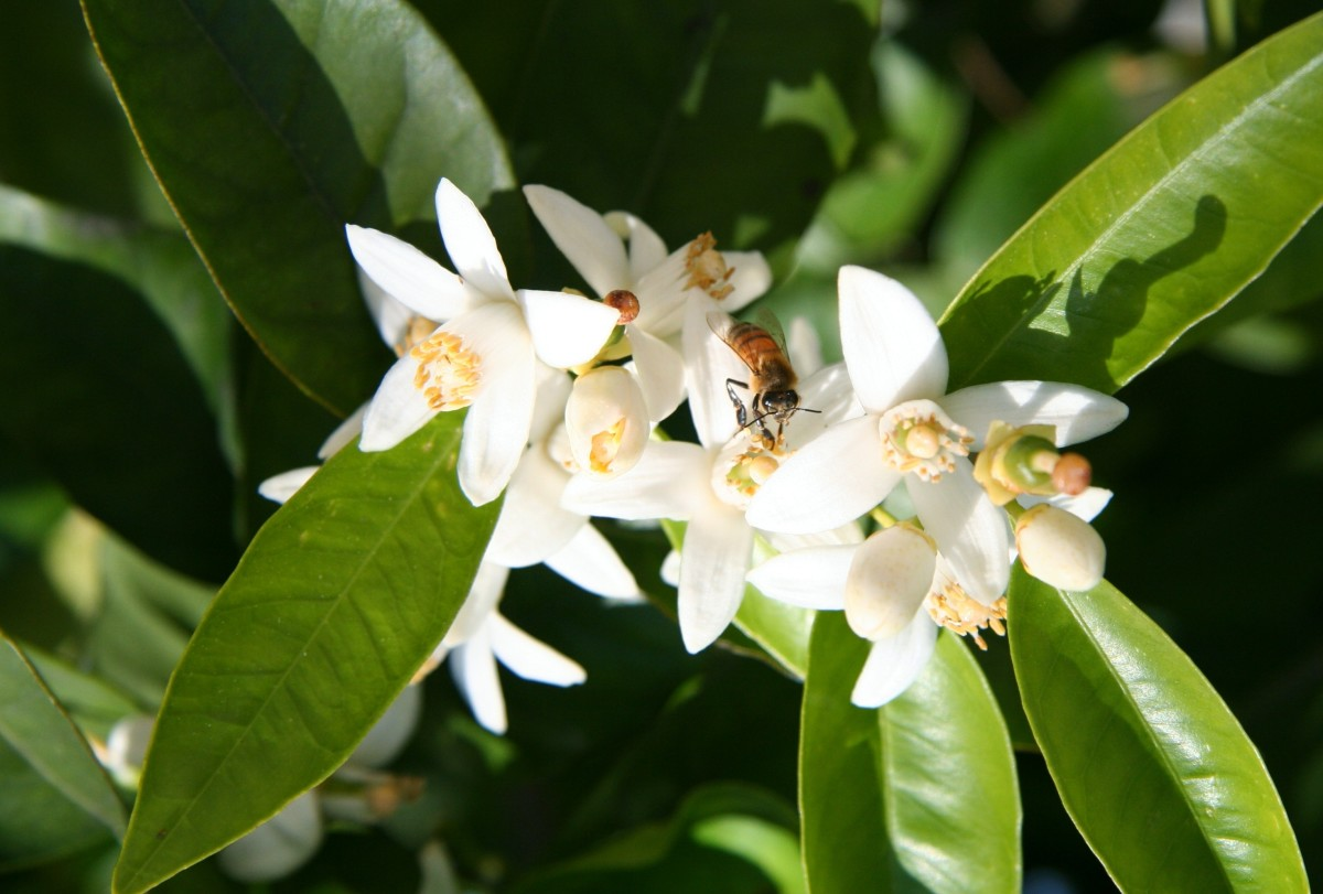 Homemade Perfumed Body Powder With Orange Blossom
