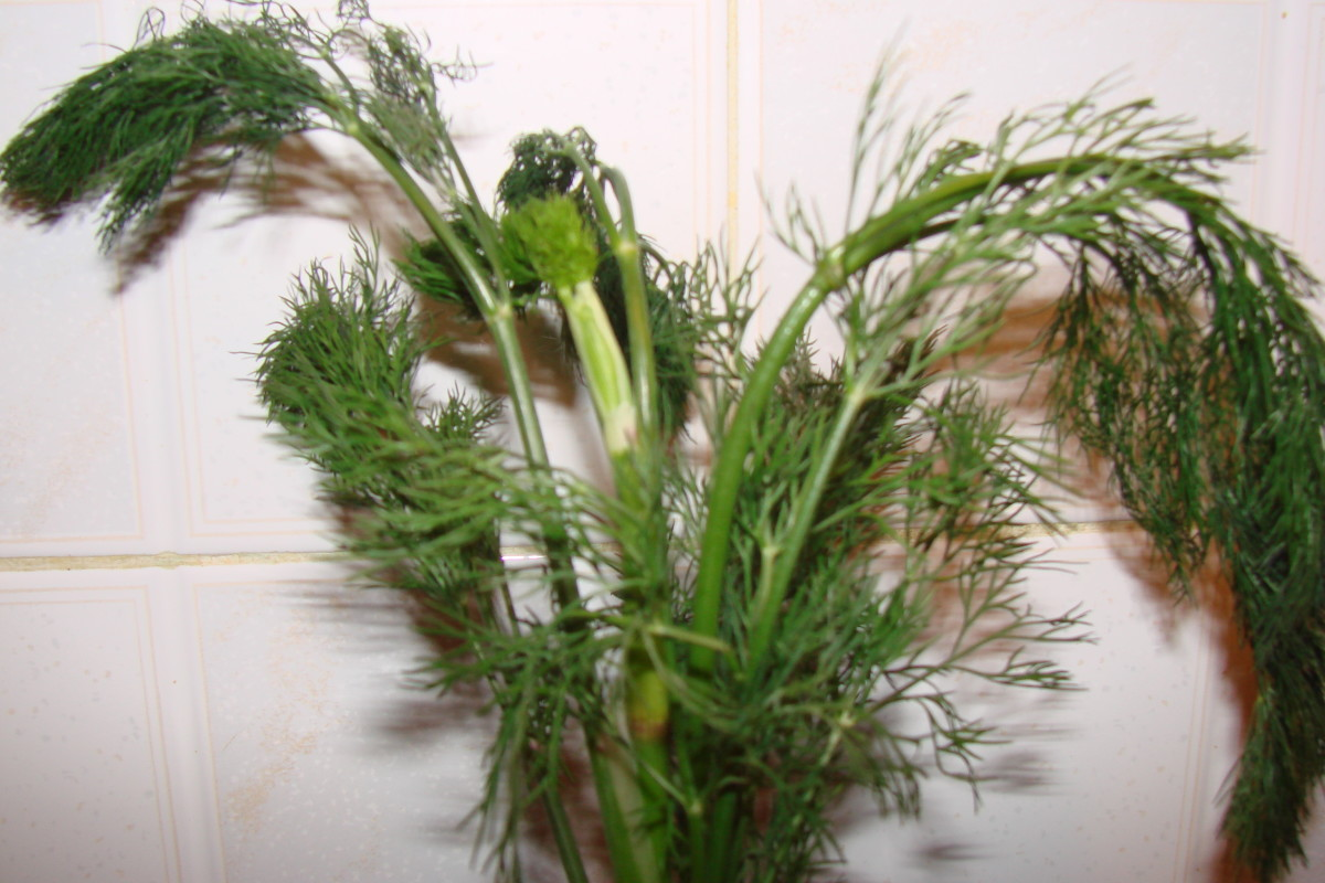 A dill plant before it was used for seasoning or pickling food.
