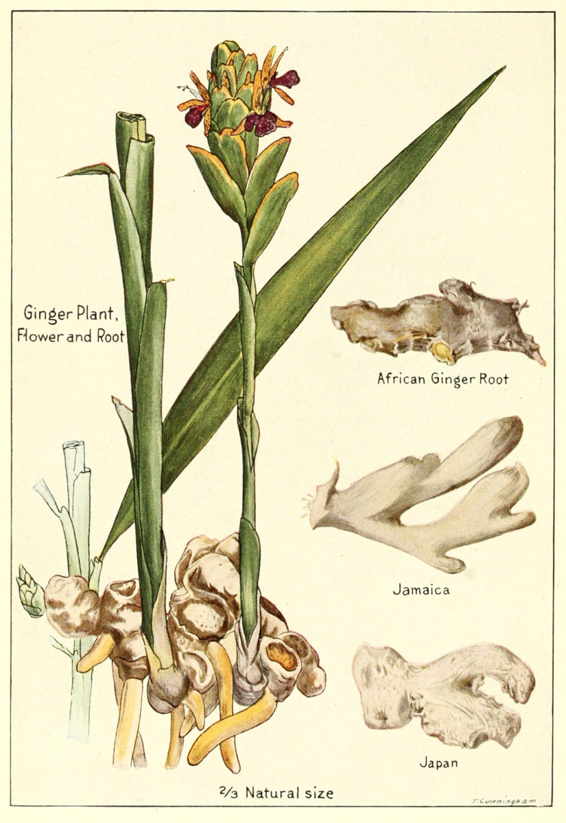 An illustration of what the ginger plant and herb looks like. The root is what's most often used in cooking, teas and medicinal preparations.