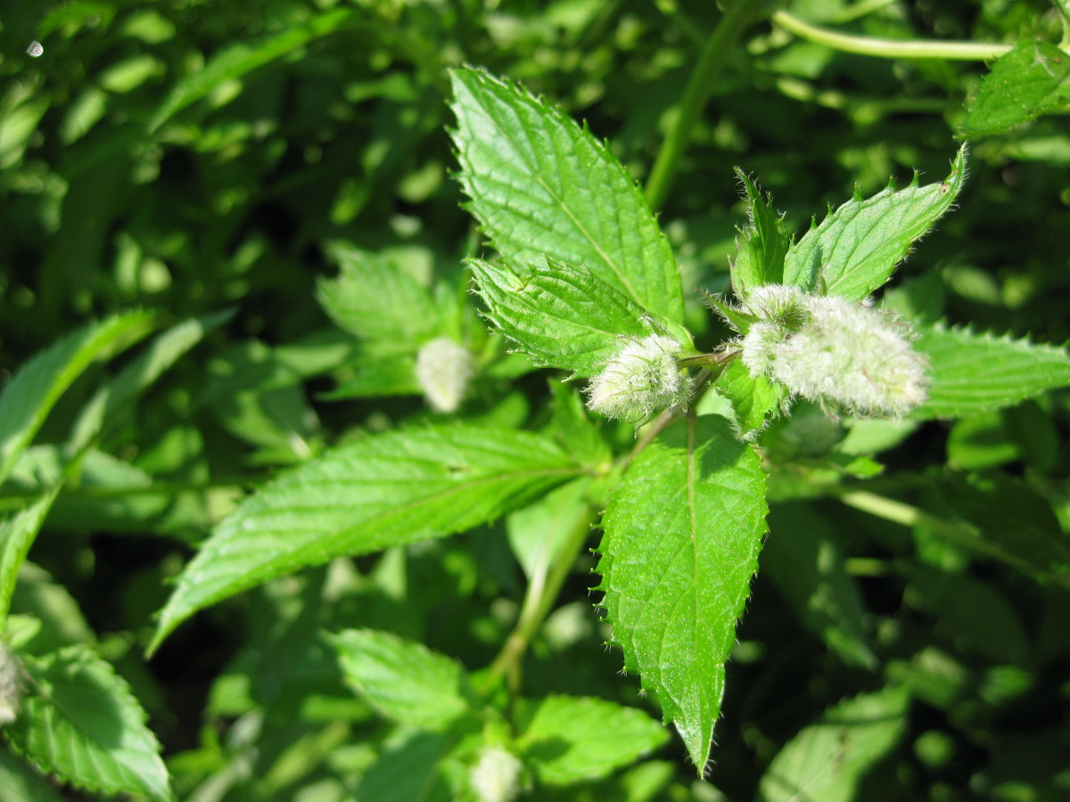 A close up view of a peppermint sprig and it's lovely spike flower. The leaves are most commonly used in cooking, cold mint drinks and teas.