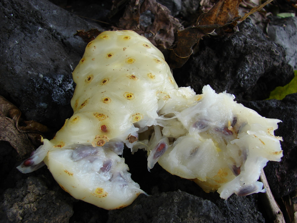 The ripe noni fruit from inside showing the seeds and pulp.