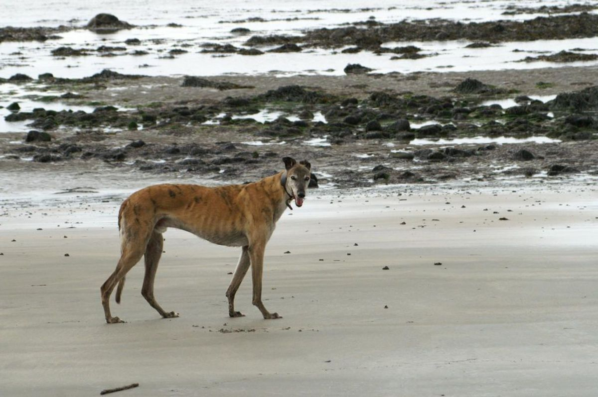 Best PFD for Greyhounds