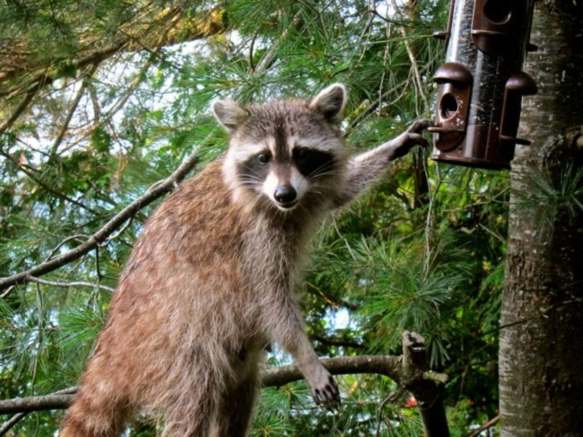 Our Resident Raccoon