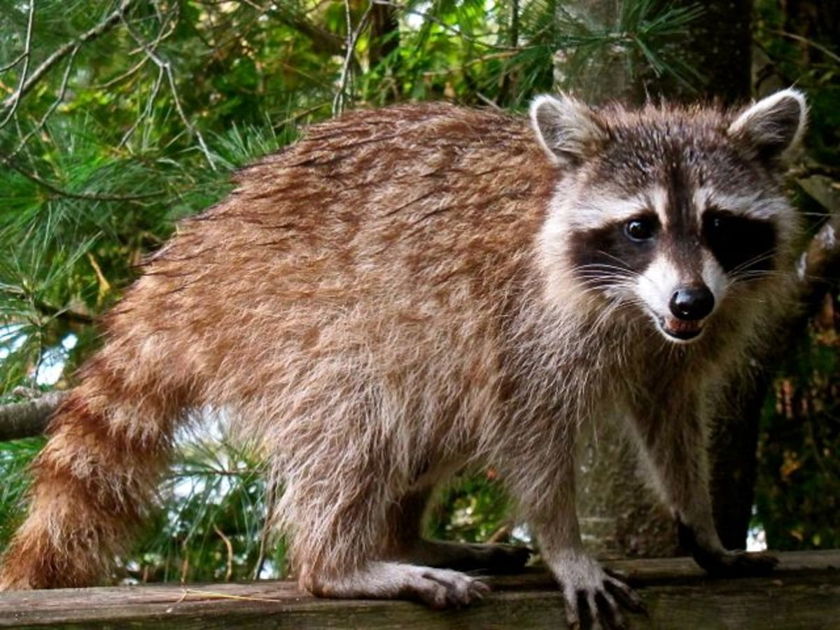 Racoon in our Feeder