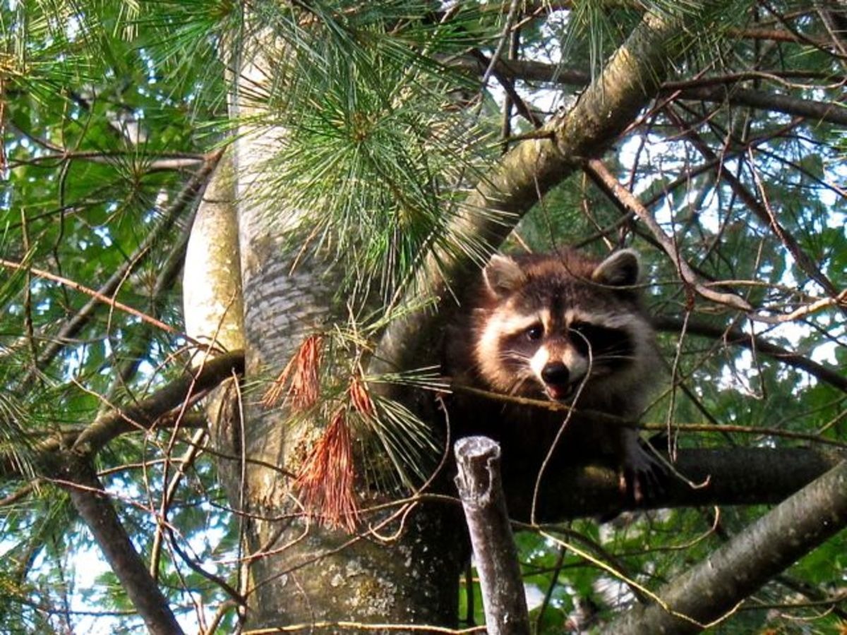 Raccoon Watching for Humans