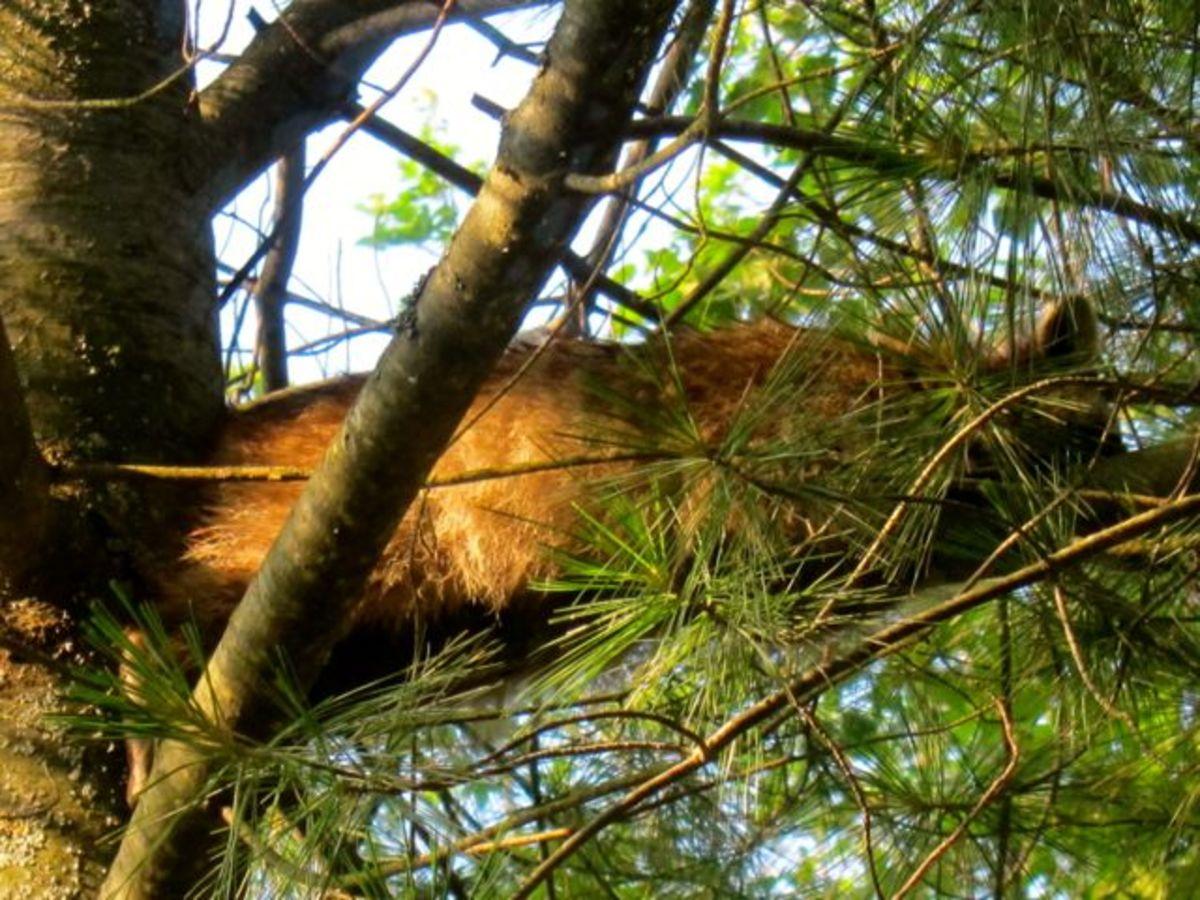 Raccoon Relaxing