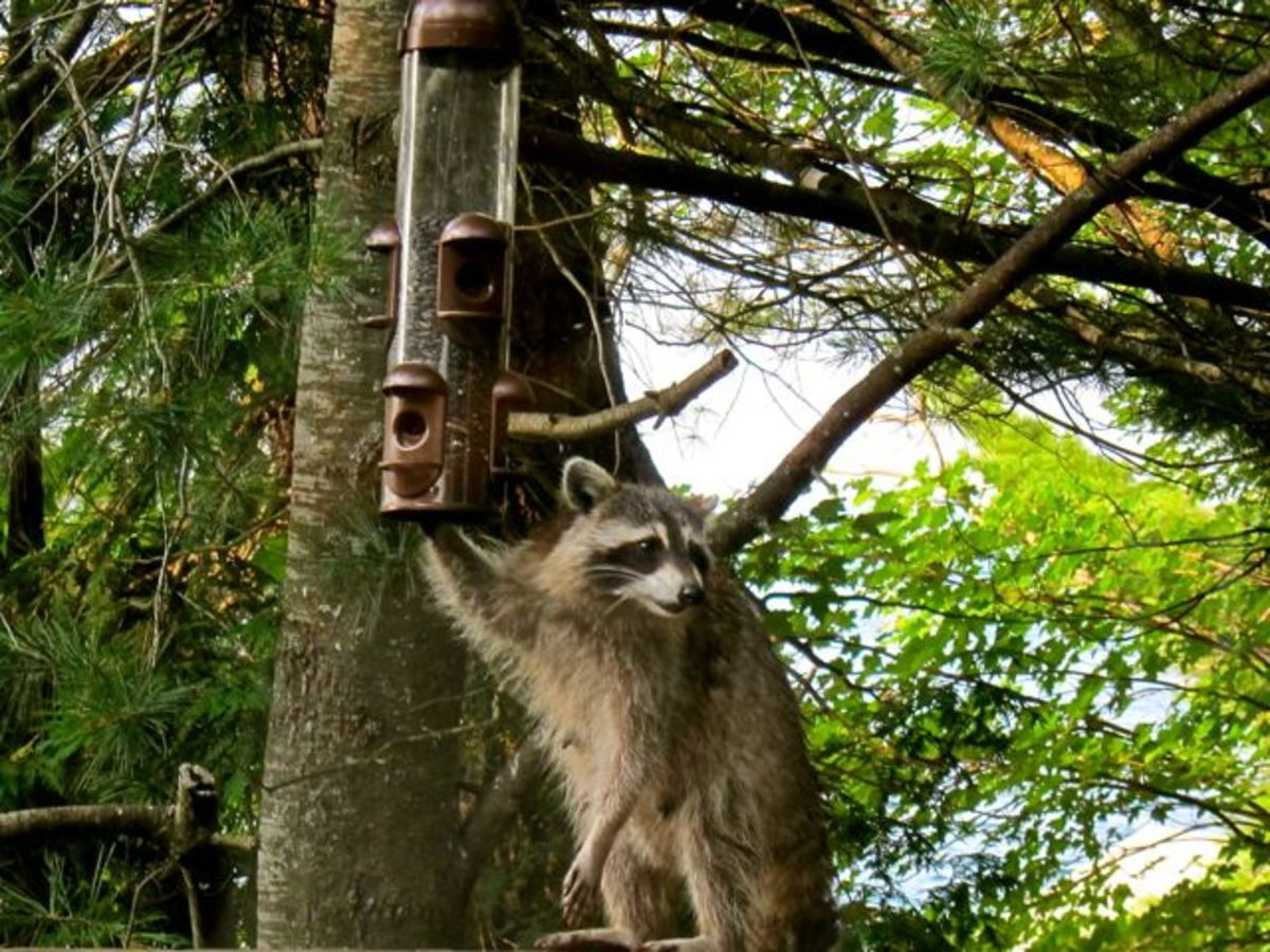 Raccoon at our Feeder