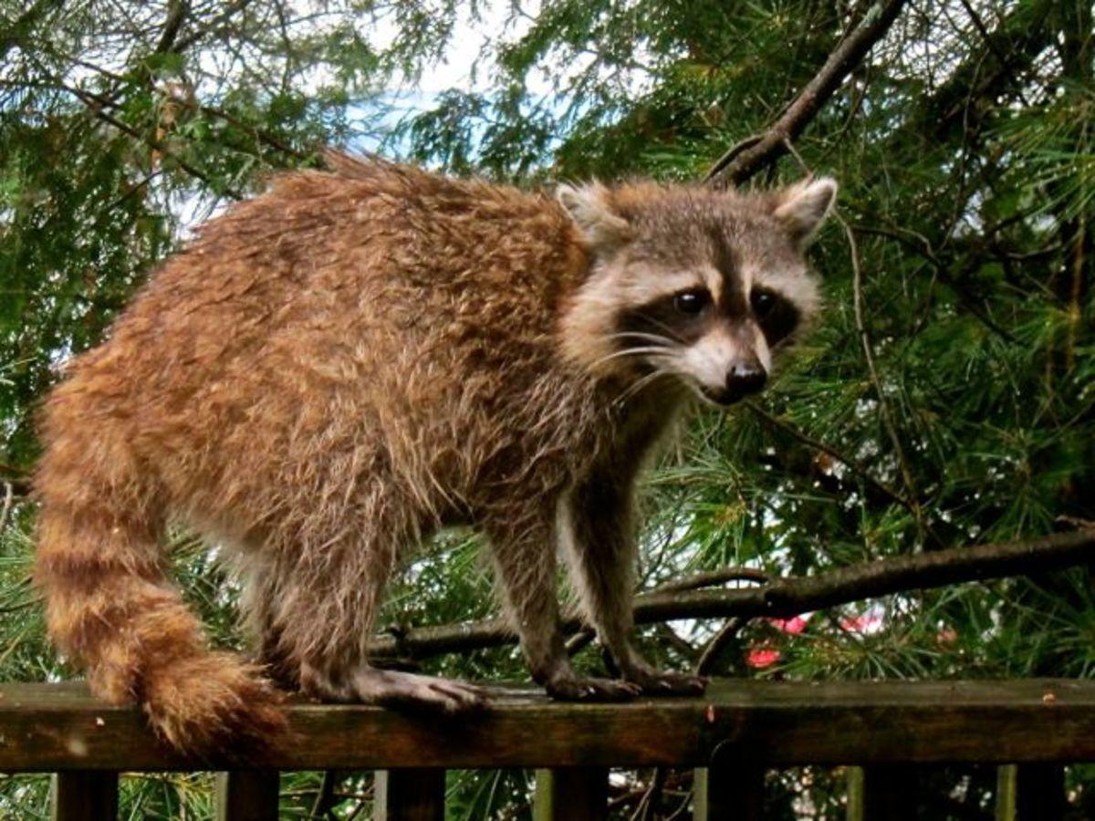 Mom Raccoon