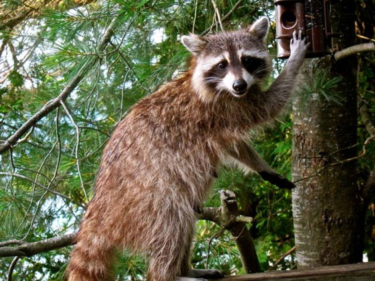 Power in Racoon Paws