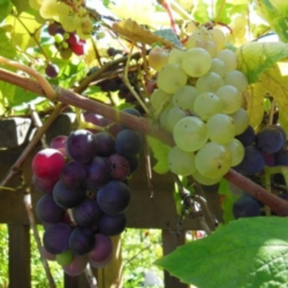 grape-juices-cordials