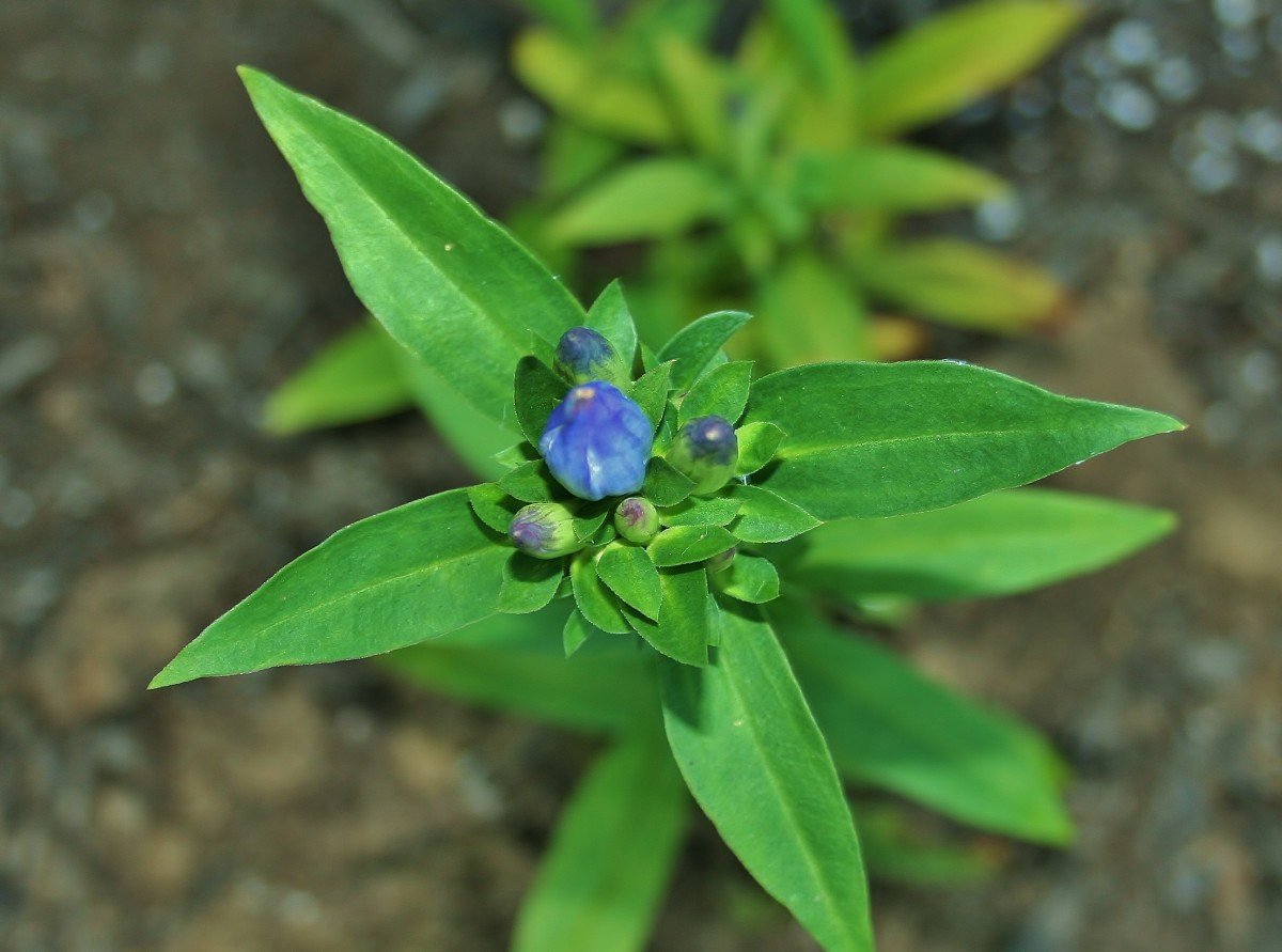 Appalachian Gentian, a True Blue Autumn Flower