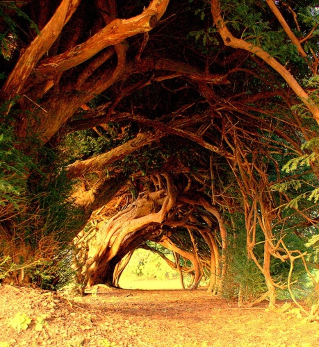 A 1,000-year old yew somewhere in England. Ever wondered what the yew has to do with the Church? We have them in church-yards and cemeteries. Your average druid would be happy with that, your vicar would just turn a blind eye...