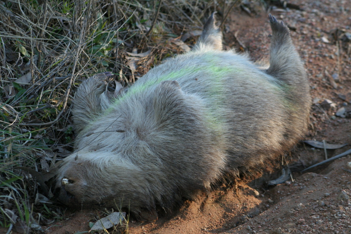 Another wombat fatality. Wombats are commonly killed on Australian roads.