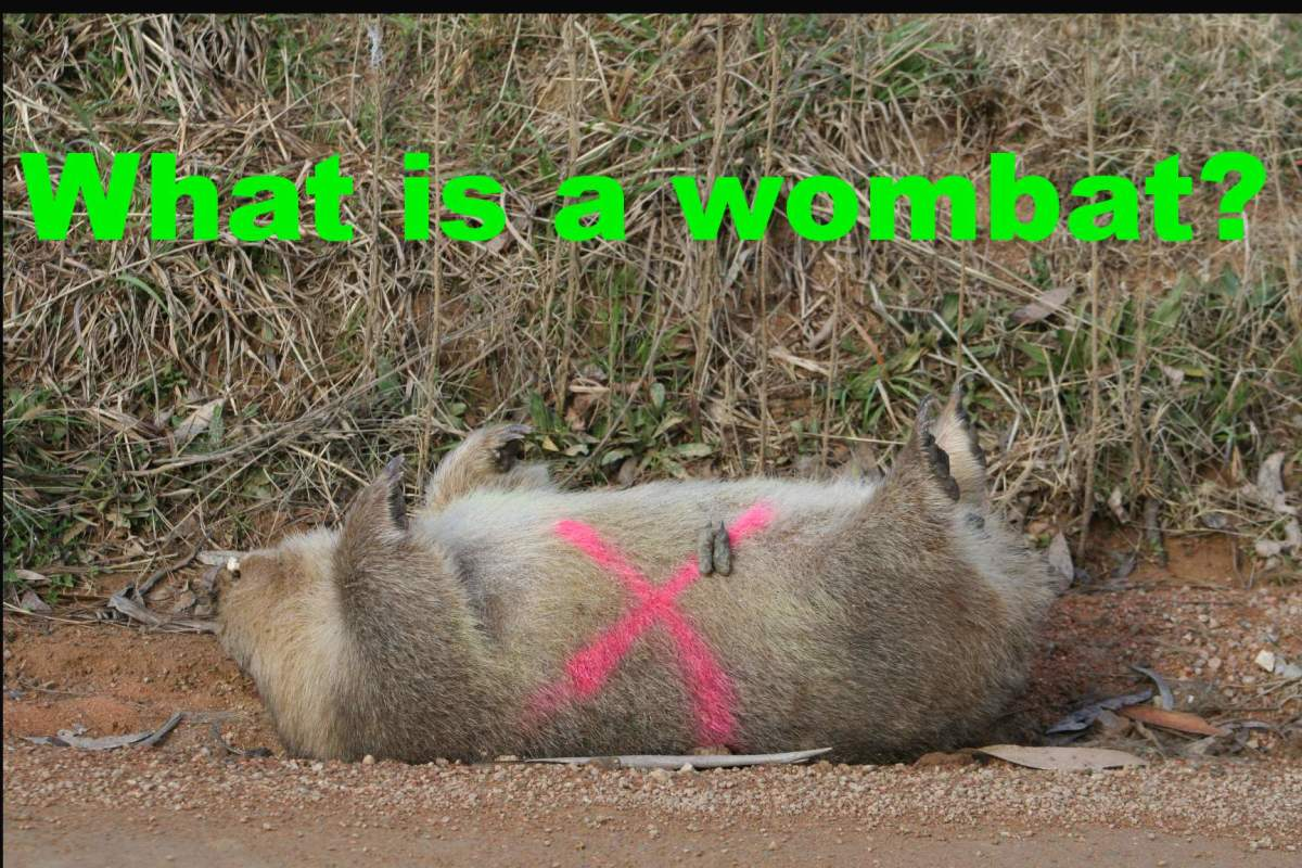Dead wombats are a common sight on Australian country roads. Do you know why wombat roadkill is painted with a bright cross?
