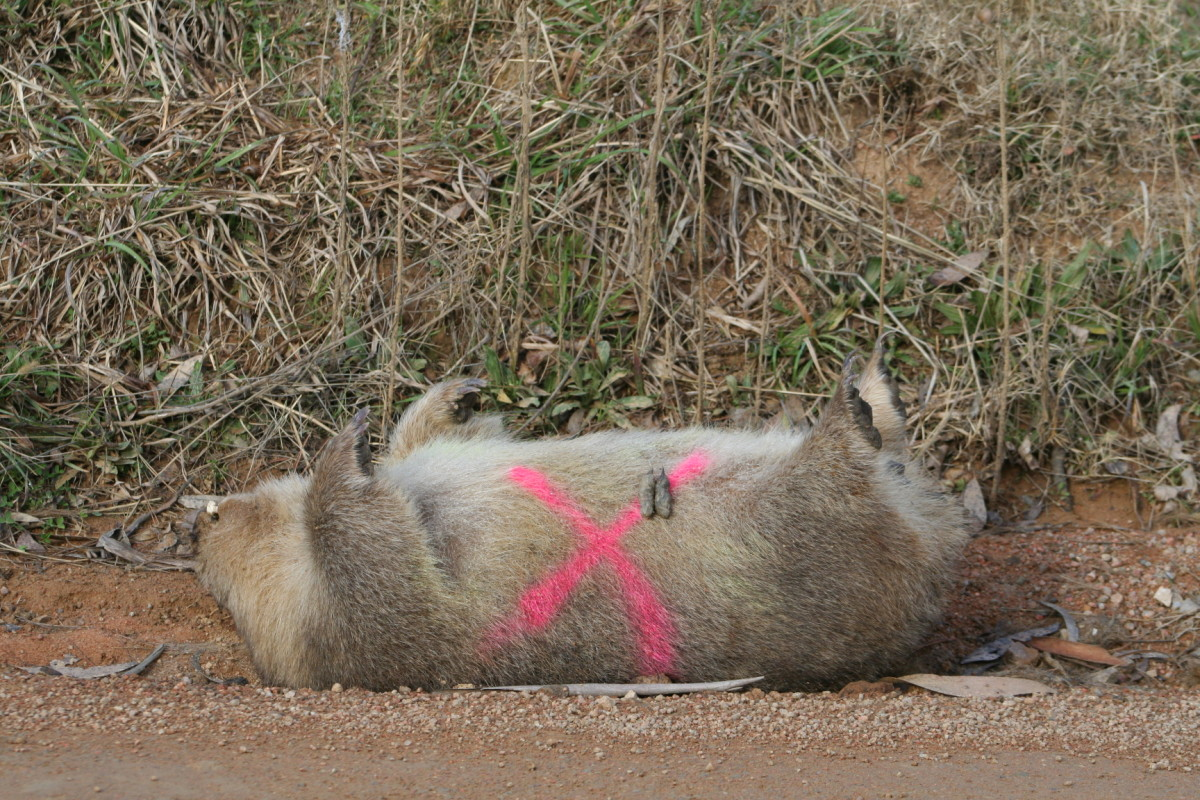 A large X is painted on wombat (and kangaroo) roadkill after the pouch is checked for live young.