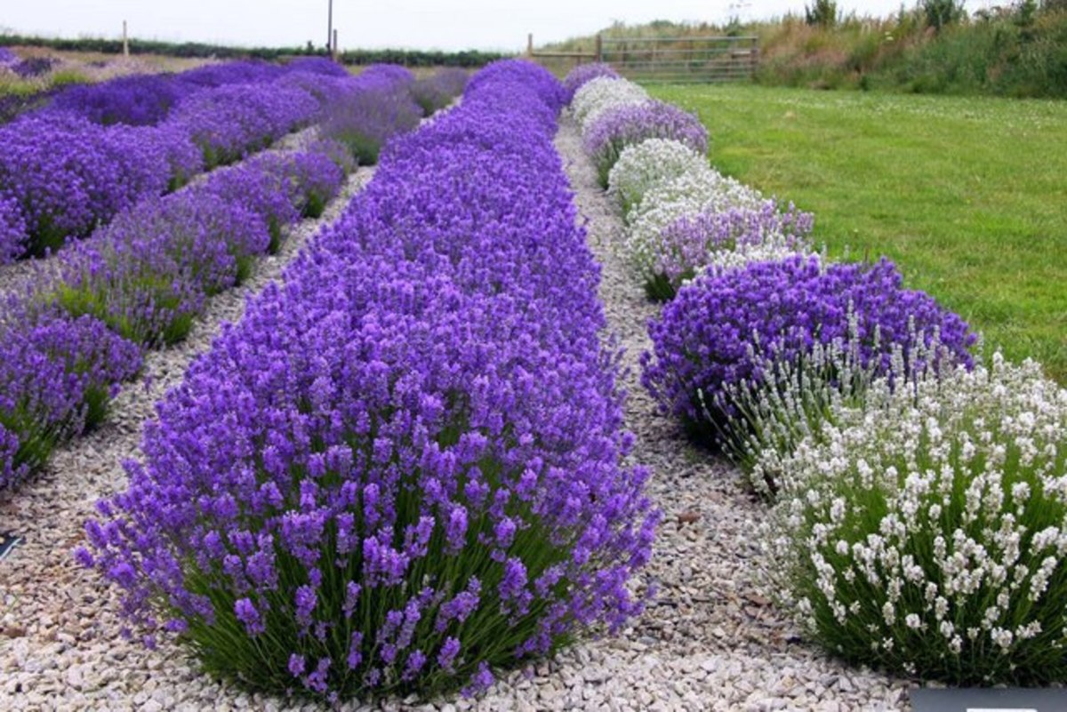 English lavender growing in Devon