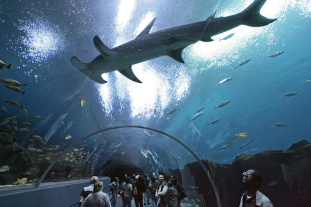 Hammer shark over visitors