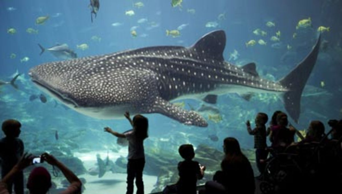 A little girl gets really close to a whale shark, the main attraction.