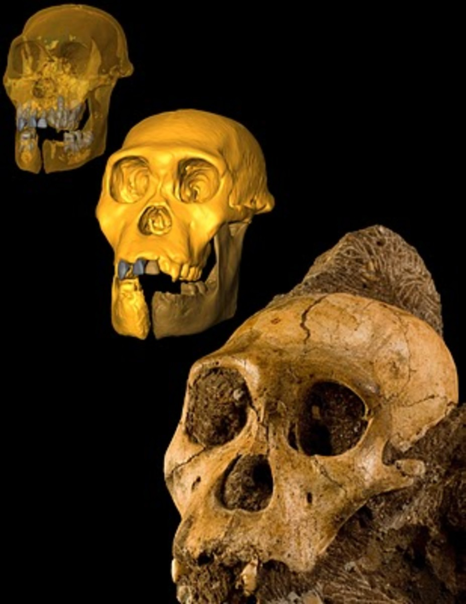 A transparent cranial reconstruction showing dental pattern, upper left, a modified reconstruction of the juvenile skull, center, and the actual fossil cranium from A. sediba. The fossils of Australopithecus sediba are between 1.95 and 1.78 million y