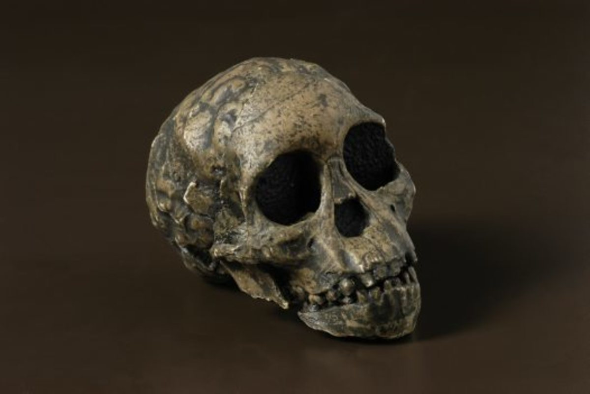 Taung Child: a partial skull and brain endocast discovered in 1924 in Taung, South Africa. This 2.3 million-year-old skull of a young child is the 'type specimen' or official representative of this species. It was the first fossil of a human ancestor
