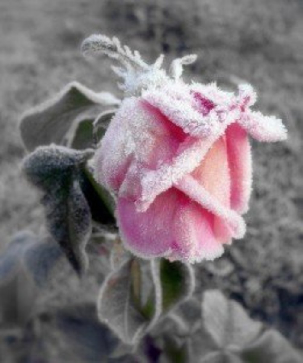 how-to-winterize-rose-bushes