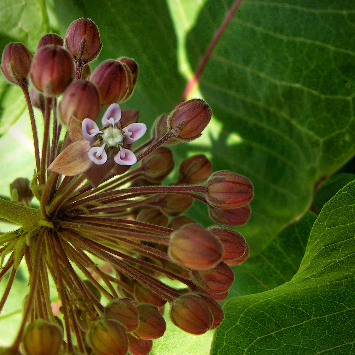 MILKWEED UMBEL BEGINNING TO BLOOM