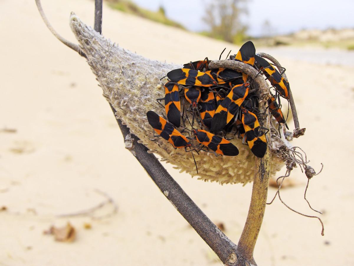 Milkweed Bug Frenzy