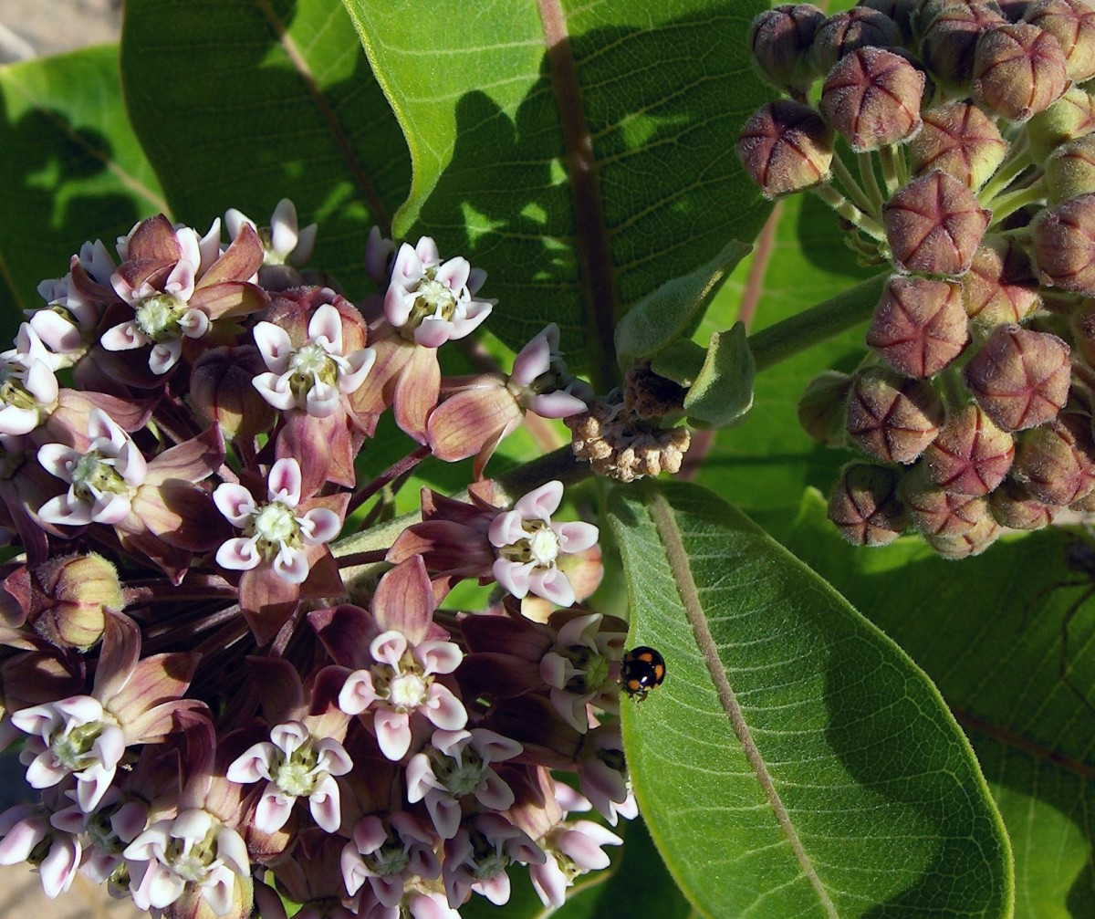 Can you spot the lady bug in the milkweed