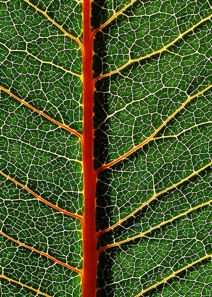CLOSE UP OF MILKWEED LEAVES VEINS