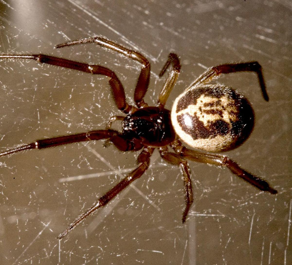 False widow spider (Steatoda nobilis) © Chris Leather