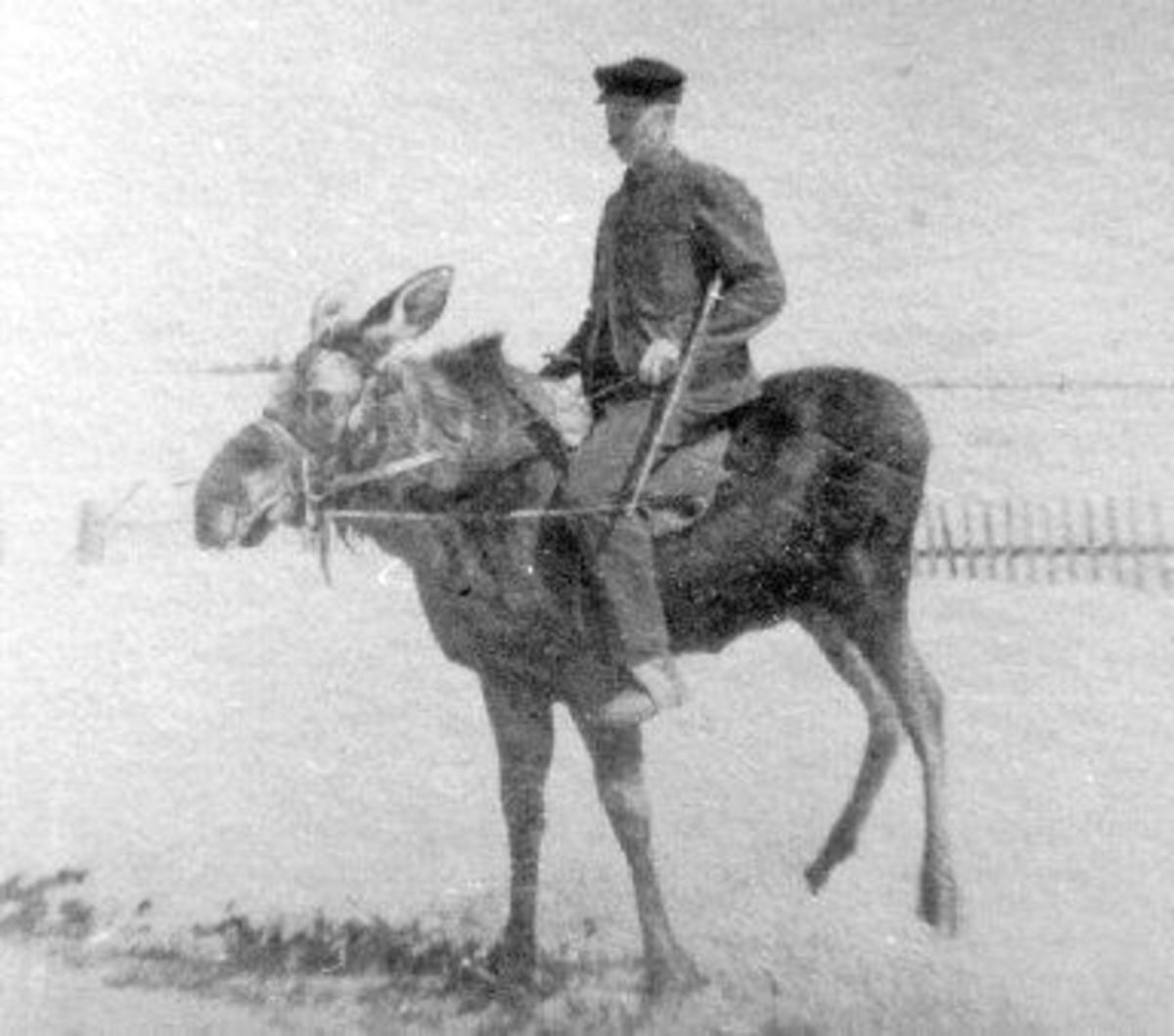 Russian moose rider