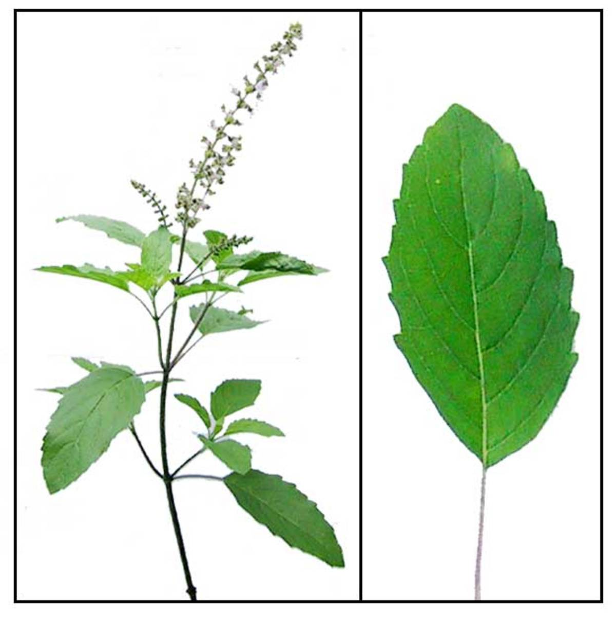 Holy Basil or Tulsi leaf and plant.