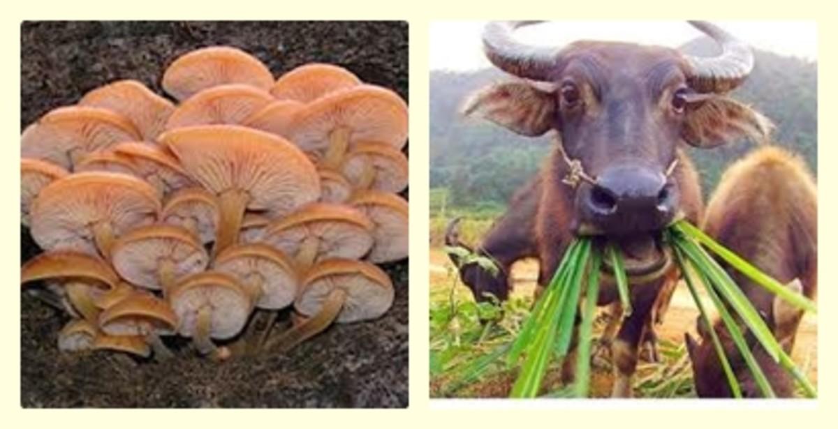 Mushroom and Carabao