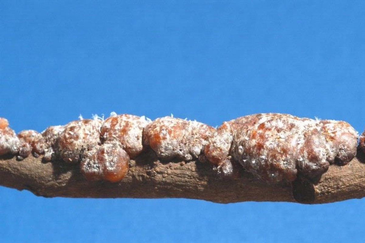 Shellac resins stuck to a tree branch after being secreted by kerria lacca bugs.