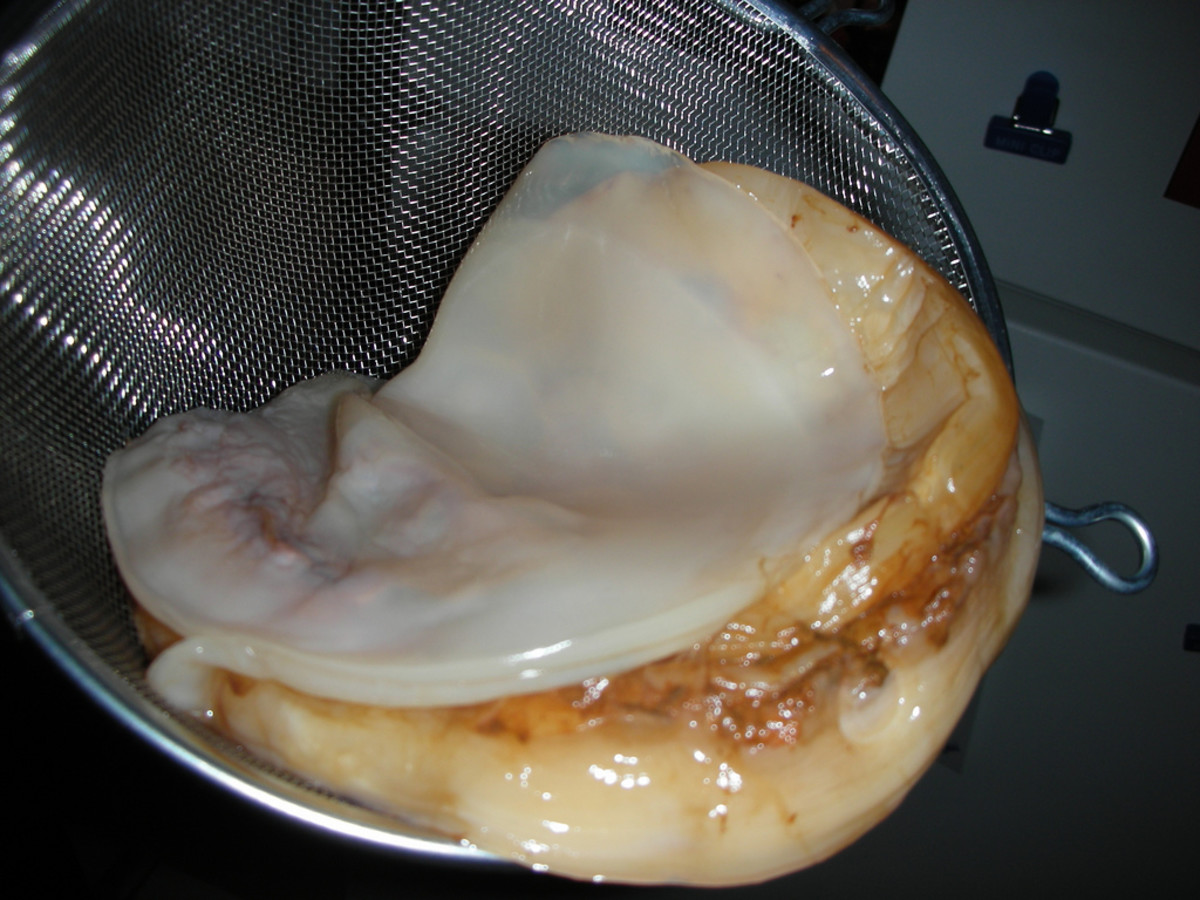 A Symbiotic Colony of Bacteria and Yeast (SCOBY) - the key ingredient in creating Kombucha, which some people have even gone as far as eating.