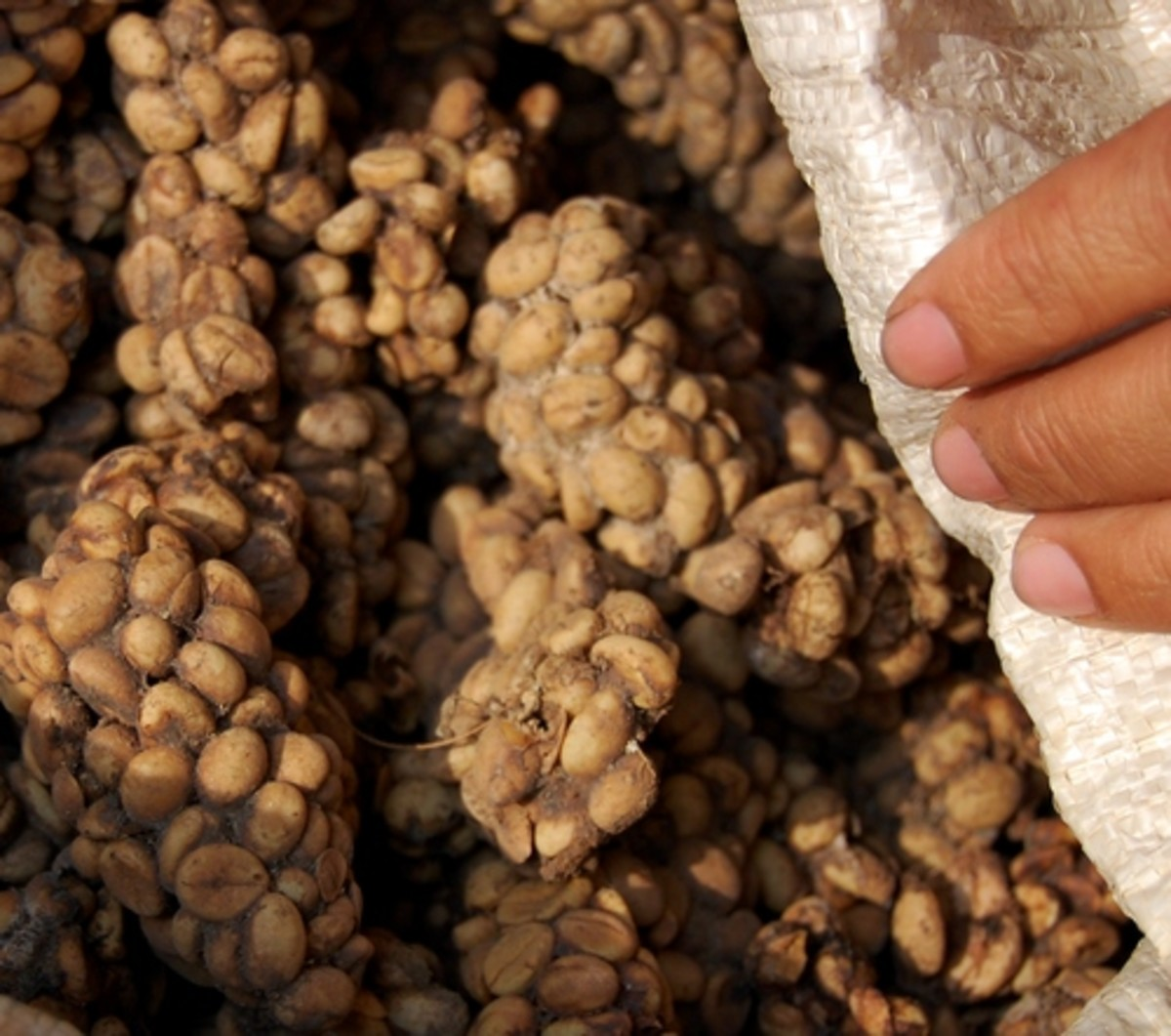 Kopi Luwak coffee beans embedded in civet feces