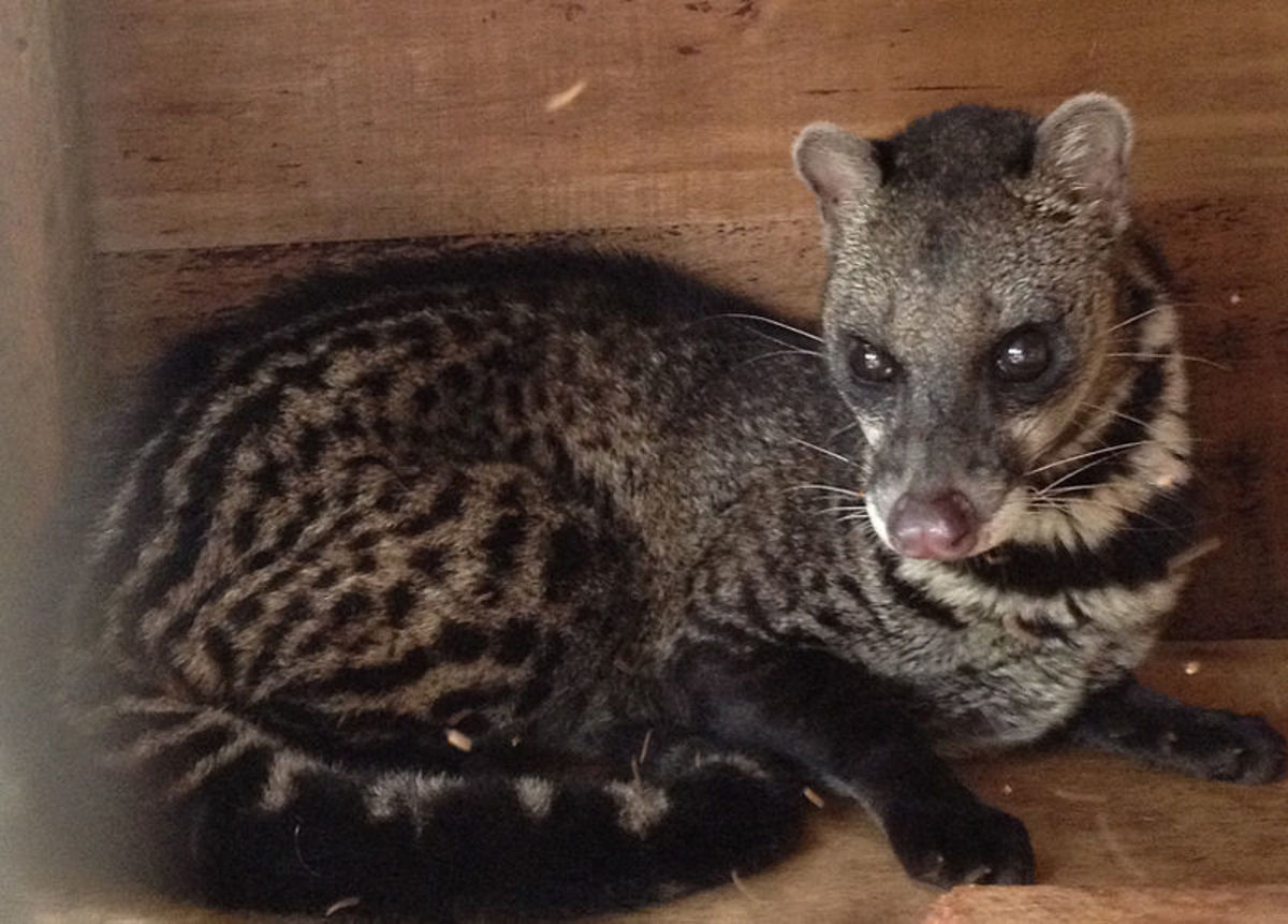 A civet cat, kept as a pet in The Phillipines.