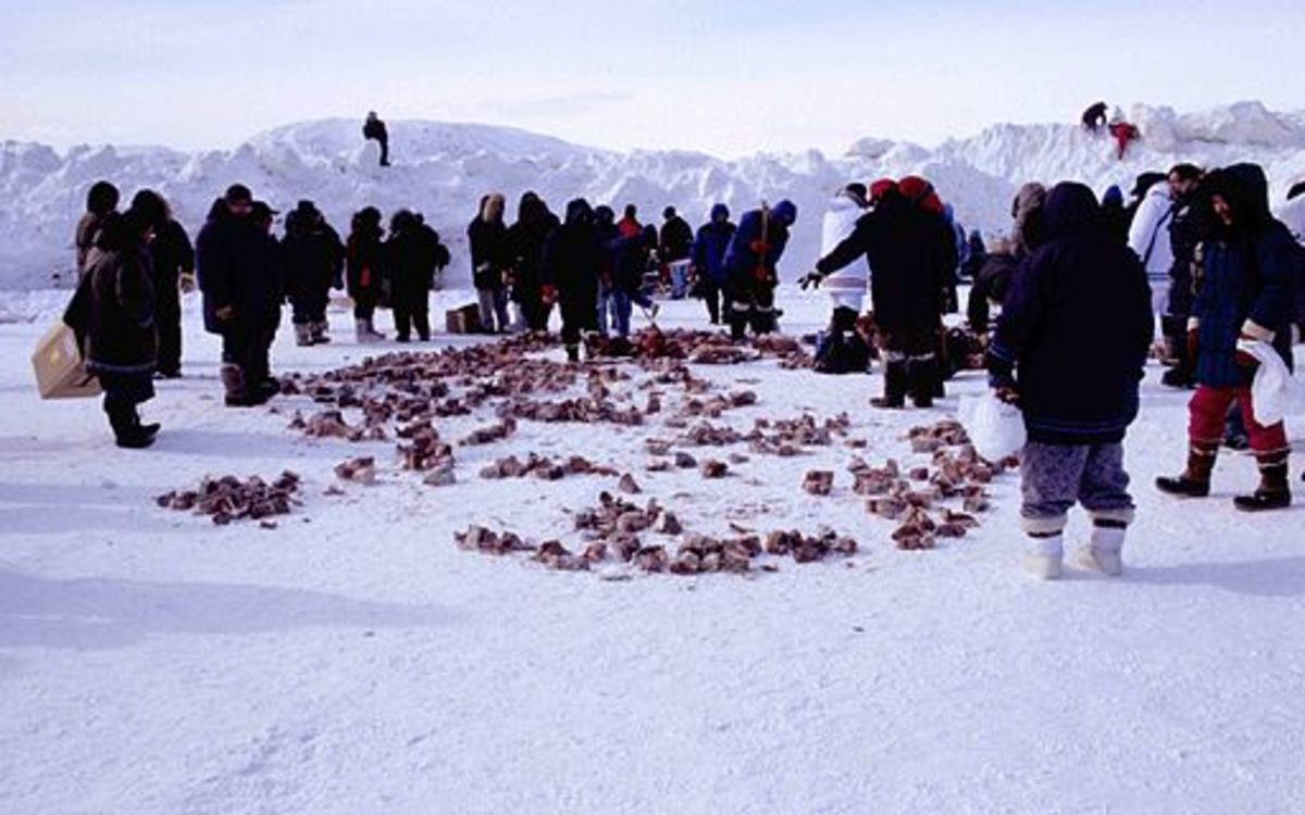 Inuits sharing frozen aged walrus meat