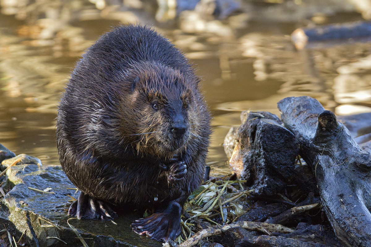 A North American beaver, which produces castoreum.