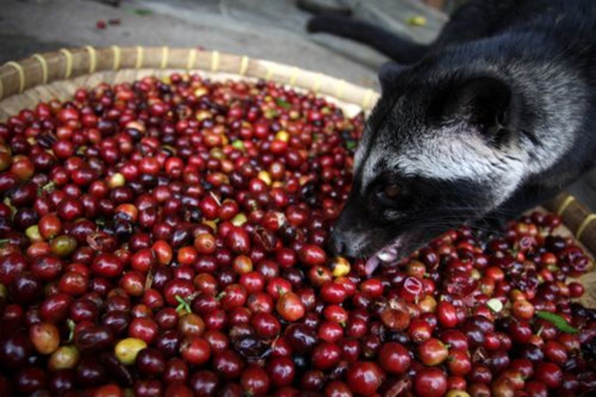 A civet feasting on a basket of coffee cherries in Sumatra, Indonesia.