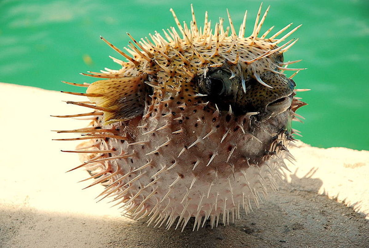 A bloated pufferfish, considered one of the most poisonous creatures in the world.