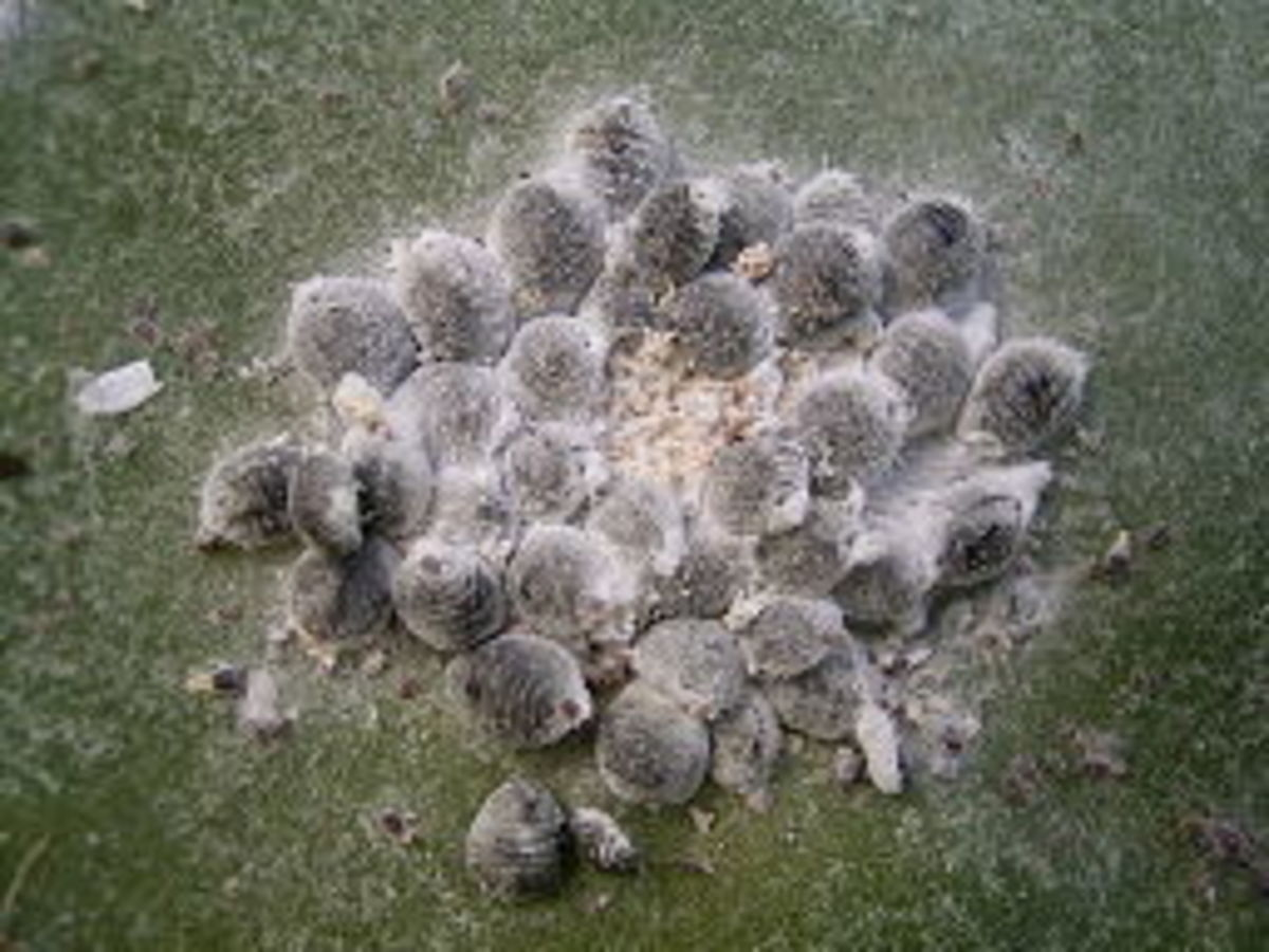A swarm of female Dactylopius coccus, or conchineal, used to create carminic acid, the coloring agent in 'Carmine'. Female cochineal are generally used rather than  males, which have much shorter lifespans & seen much less frequently.