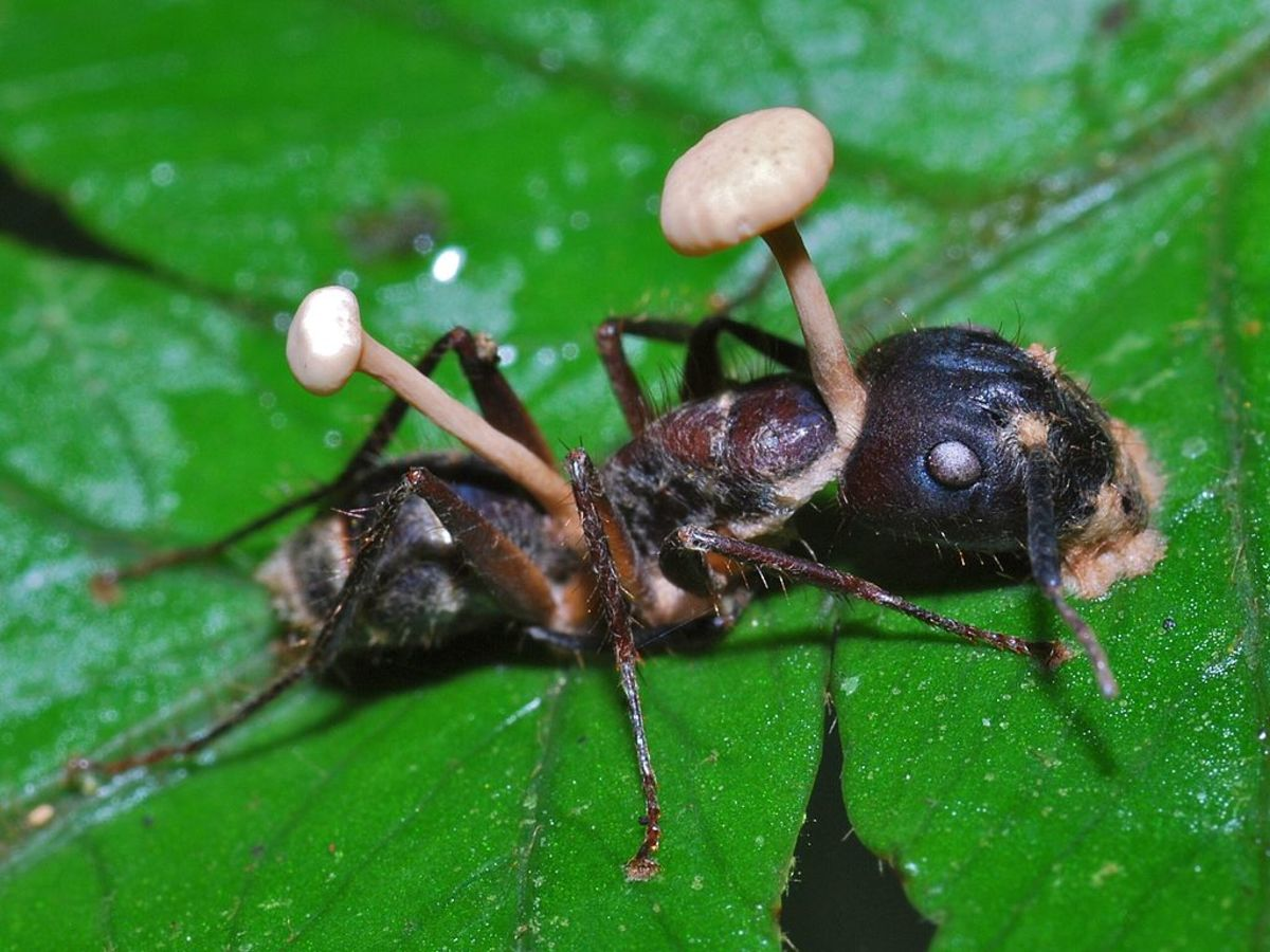 An ant killed by Cordyceps fungus which is disturbingly bursting out of its body, at Cockscomb Wildlife Sanctuary in Belize.