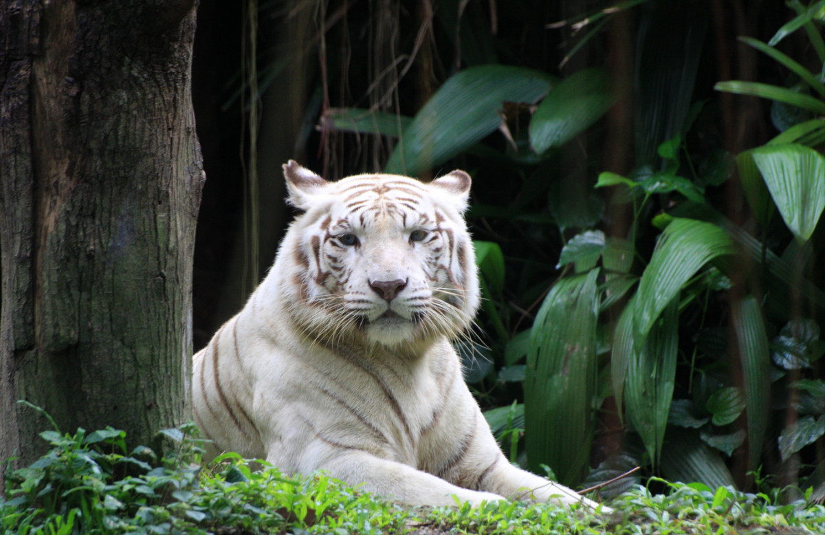 White tiger at the Singapore Zoo