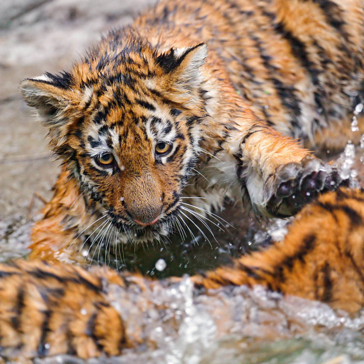 Cubs playing in the water