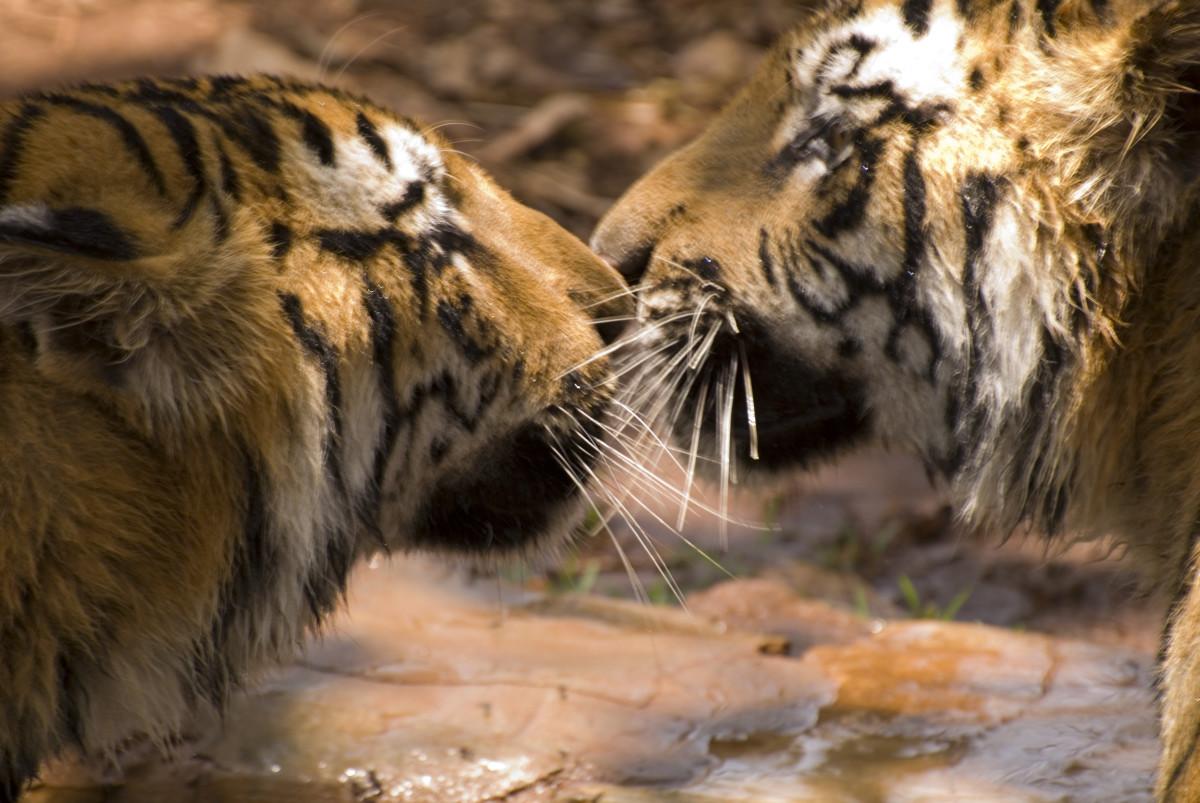 Bengal tigers in Karnataka, India
