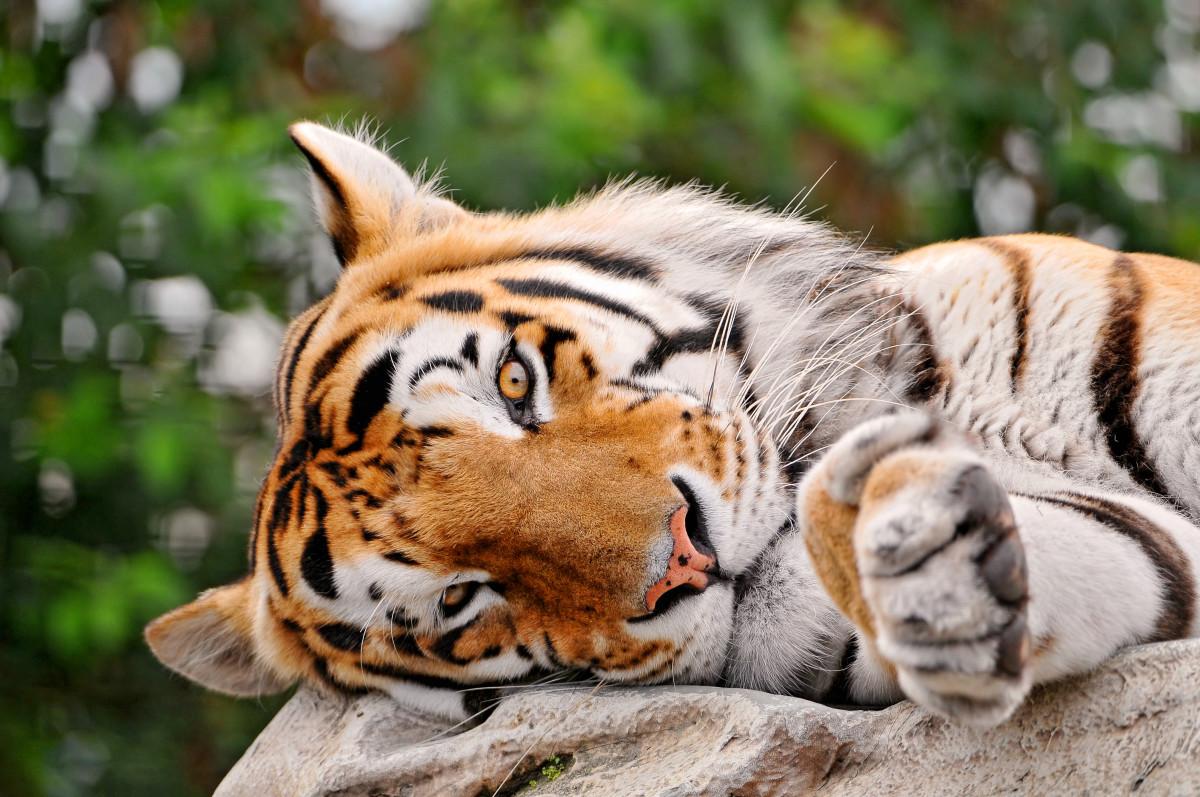 Bengal tiger at Raubtierpark Subingen