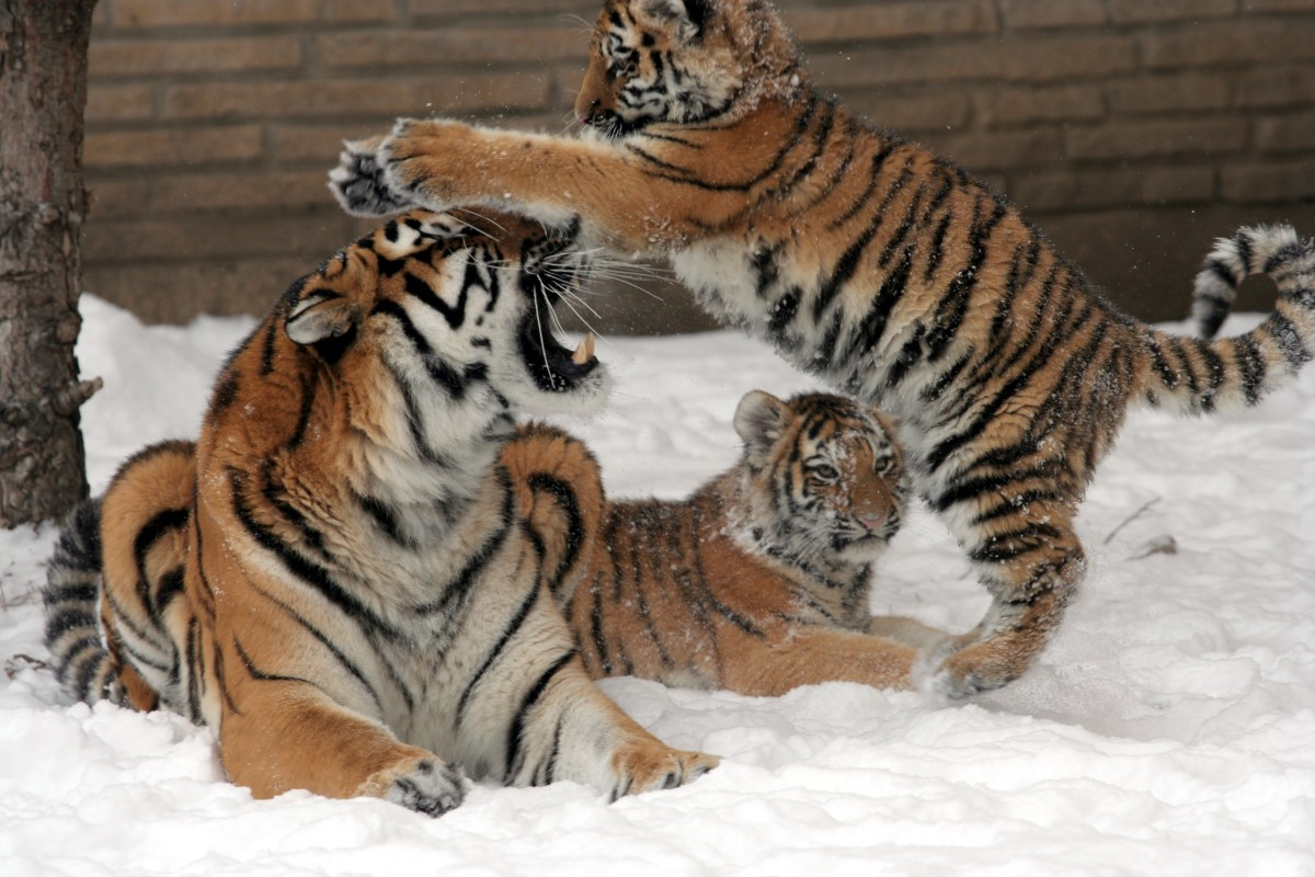 Dave Pape, Public domain, via Wikimedia Commons Two Siberian tiger cubs with their mother at the Buffalo Zoo
