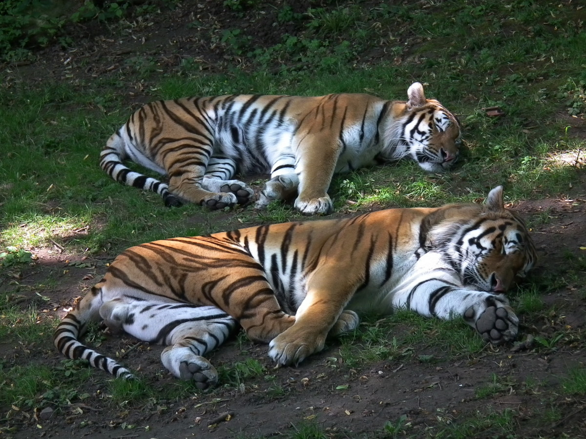 A pair of Siberian tigers napping at Zoo Landau in Germany